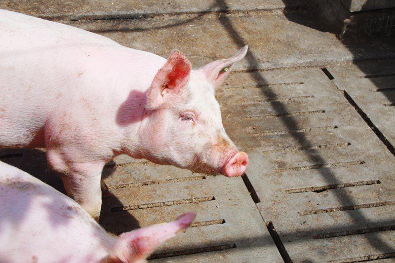grueninger-muehlen-schwein-ferkel